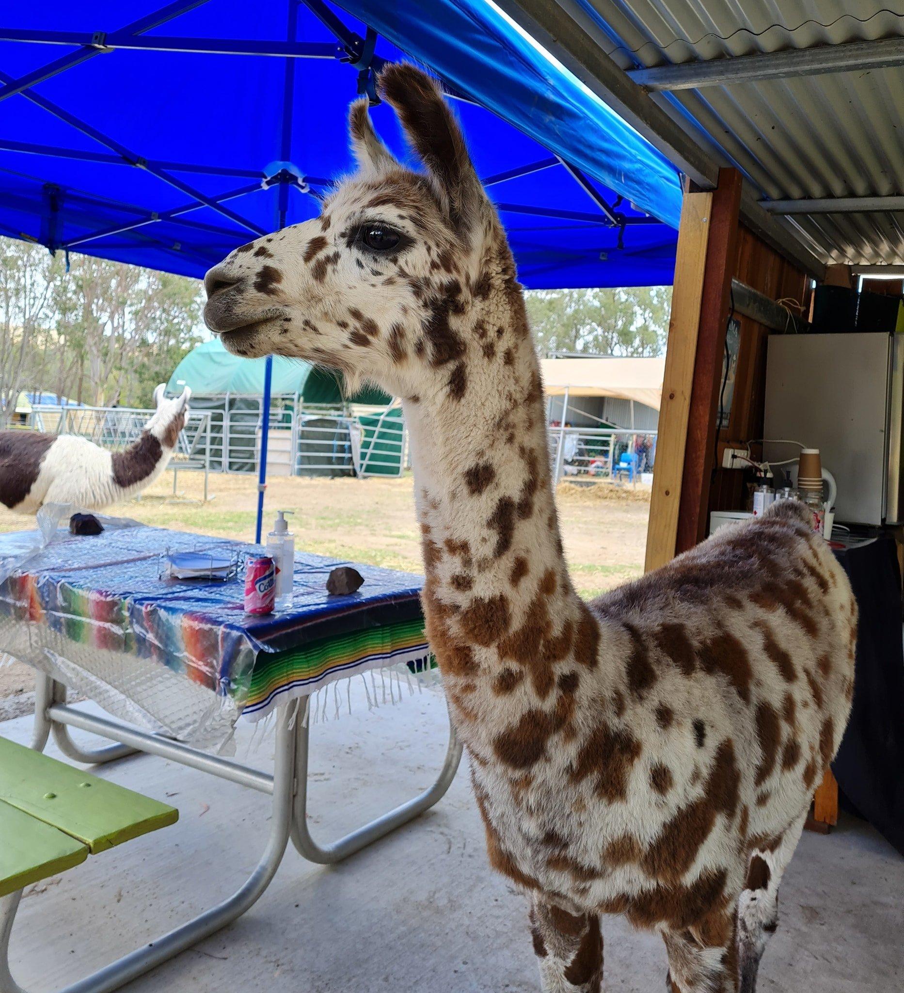 Live Llama Painting