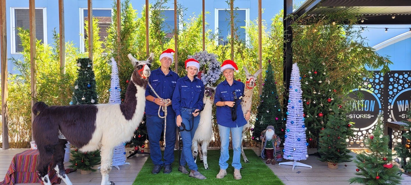 Christmas photos with llamas