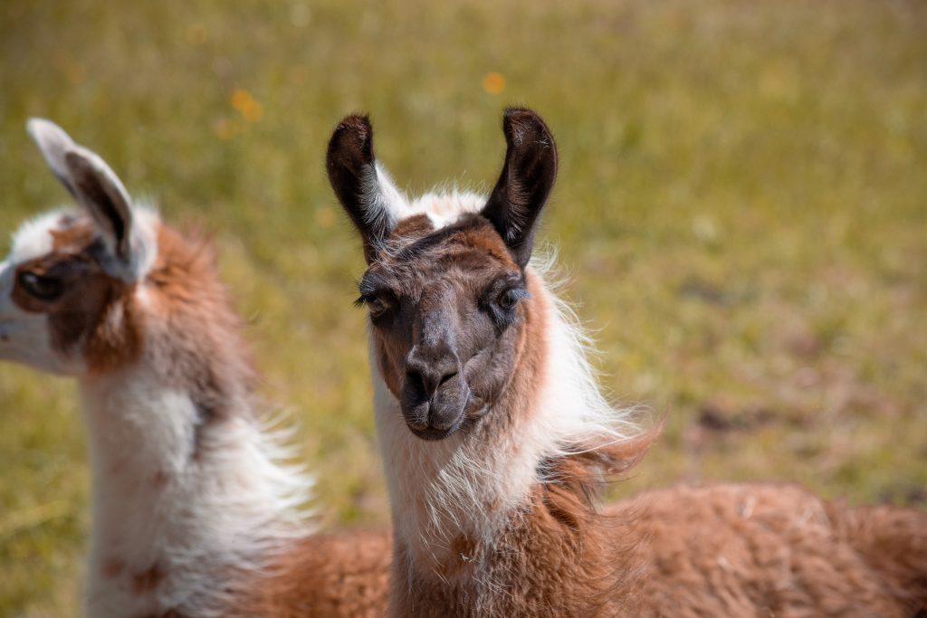 Live Llama Painting – May
